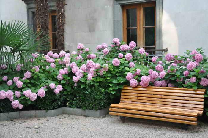 Почему гортензии не цветут