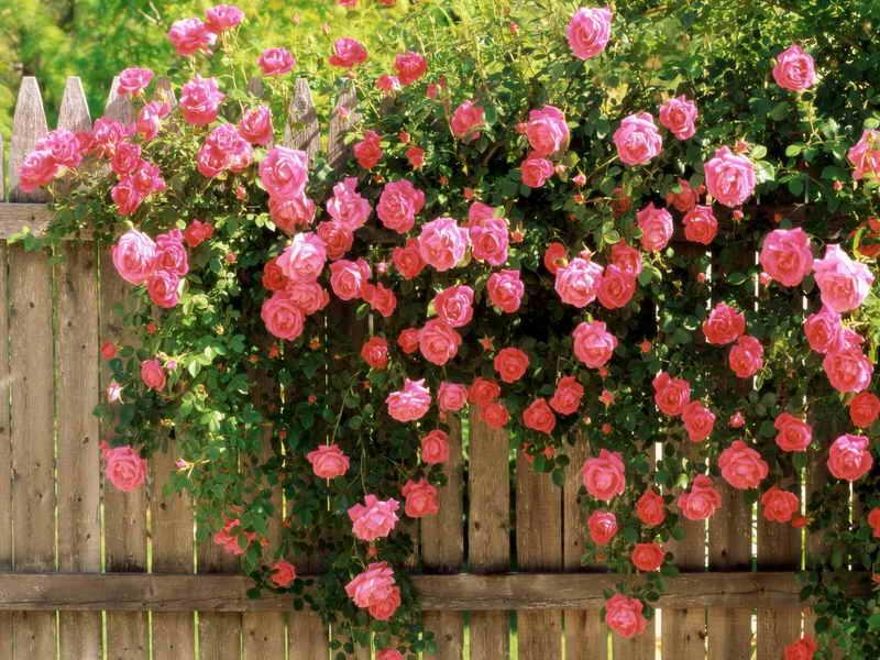 Что делать если роза не цветет а растет кустарником