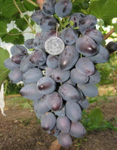 виноград Натуся