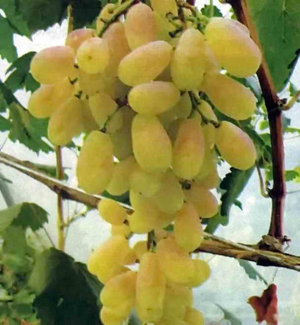 Подарок Медовый - виноград - fo