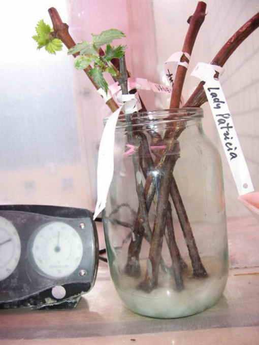 Как из семян вырастить рассаду огурцов 528