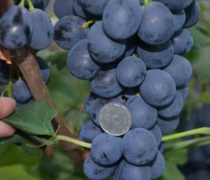 Виноград сфинкс  описание