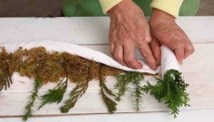 Размножение хвойных черенками в домашних условиях