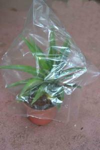 posadka-ananasa