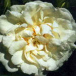 роза Суавеоленс