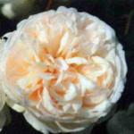 роза Саммер Меморис