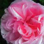 роза Флешлайт