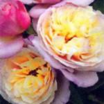роза Геркулес