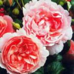 роза Строуберри Хилл