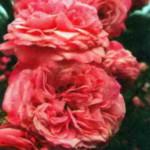 роза Заиде