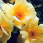 роза Фрюлингсголд