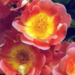 роза Герцогиня Фредерика
