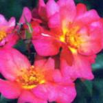 роза Притти Санрайз