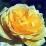 роза Шайнинг Лайт