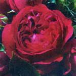 роза Ред Эден Розе