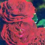 роза Торнелла