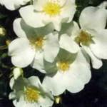 роза Эскимо