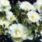 роза Шнеефлоке