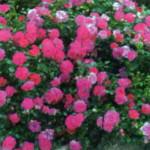 роза Книрпс