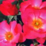 роза Резиденц
