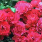 роза Гэртнерфройде