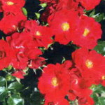 роза Матадор