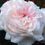 сорт плетистой розы Грациоза