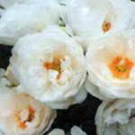 сорт плетистой розы Гелла