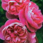 роза Аллегро