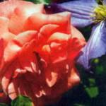 роза Фассаденцаубер