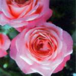 роза Розана