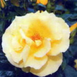 роза Дукат