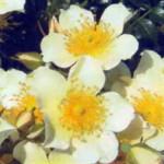роза Зонненрёшен