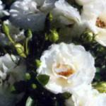 роза Уайт Бэбифлор