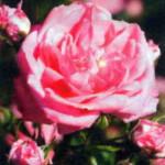 роза Медли Пинк