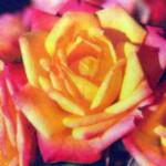 роза Литтл Сансет