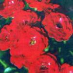 роза Манди
