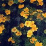 сорт шиповника Шиповник Эйчисон или Роза Эйчисон