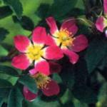 сорт шиповника Роза сизая