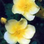 сорт шиповника Роза китайская золотая