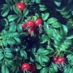 сорт шиповника Роза морщинистая