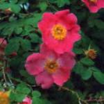 сорт шиповника Роза мандариновая
