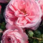 роза Крещендо