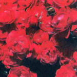 роза Кантарио