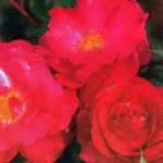 роза Синеа