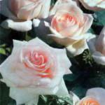 роза Шлосс Иппенбург