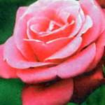 роза Харизма