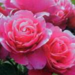 роза Эльбфлоренц