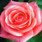 роза Фокус