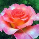 роза Пинк Парадиз
